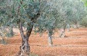 Hoe groot olijfbomen groeien?