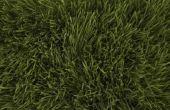 Wat gebeurt er als u laat uw gras groeien te lang?