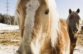 Hoe de behandeling van een paard met een koude