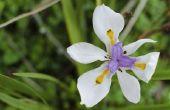Hoe de zorg voor een Afrikaanse Iris