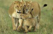 Hoe maak je een leefgebied van de Leeuw