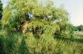 Willow Tree ziekte en blaffen Peeling Off