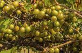Druiven groeien in Florida