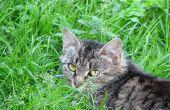 Symptomen van een kat een lelie heeft gegeten