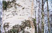 Hoe te snoeien van bomen van de witte berk