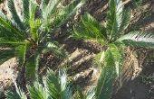 Basic zorg voor een Sago Palm Tree