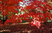 Hoe te identificeren rode boom bladeren