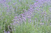Lavendel landbouw-subsidies