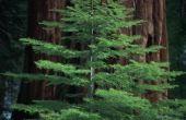 Redwood Trees voor het noordoosten