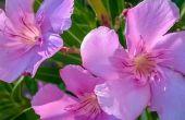 Hoe te snoeien en de verzorging van oleanders planten