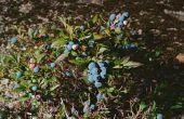 Een Blueberry heester met bruine bladeren