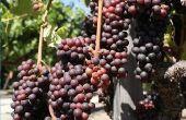 Wanneer te planten wijnstokken