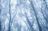 Hoe om te doden een Eucalyptus boom