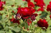 Op welke temperatuur zet Rose struiken?