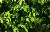 Insecten & ongedierte op een Ficus