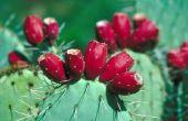 Verschil tussen een Cactus Pear & een Nopale Cactus-vrucht