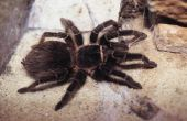 Soorten spinnen die zwart met witte ringen rond de poten zijn