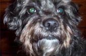 Hoe de zorg voor een Schnoodle hond met een gevoelige huid
