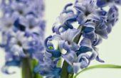 Zijn hyacinten giftig voor dieren?
