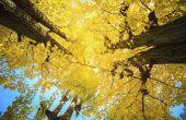 De symbolische betekenis van de Ginkgo-boom