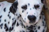 Hoe de zorg voor een Puppy met rode bultjes op de maag