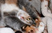 Home Remedies voor kat jeuk