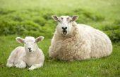Hoe te verzorgen van een schaap