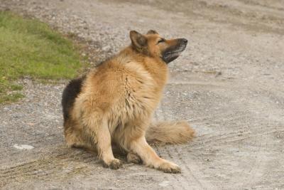 schurftmijt hond