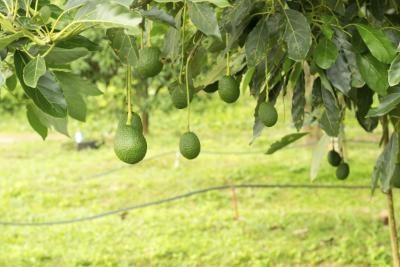 Avocado boom zones for Avocado coltivazione