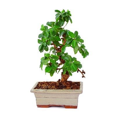 Bonsai Voor Binnen.De Beste Planten Voor Bonsaibomen Wikisailor Com
