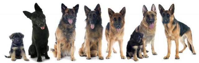 bekende amerikaanse honden