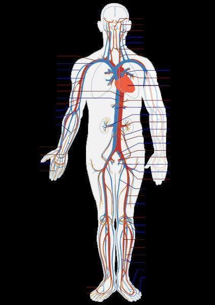 verbeteren bloedsomloop kleine extremiteiten