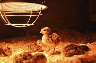 warmte lamp voor vogels
