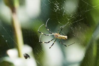 hoe heten kleine spinnetjes