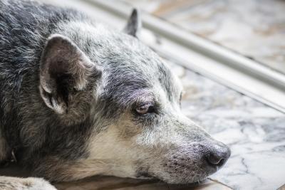 hond bult huid