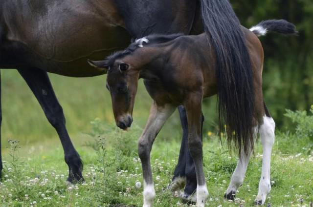plat voeten bij paarden