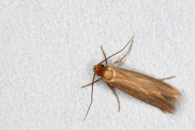 Bugs insecten die eten van kasjmier wol - Larve mite alimentaire ...