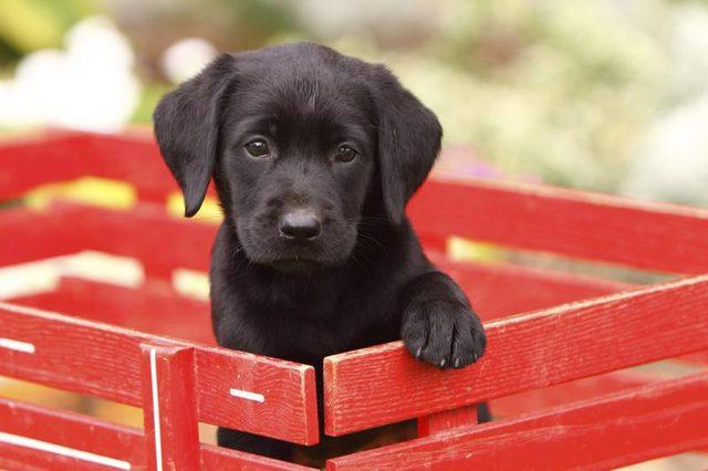 Kleurplaat Hond Labrador Idee 235 N Over Kleurpagina S Voor